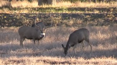 Mule Deer Buck and Doe in Rut — Stock Video
