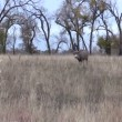 Stock Video: Mule Deer Buck