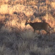 Whitetail Doe — Stock Video