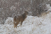 Whitetail Buck in Snow — Photo