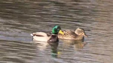 Pair of Mallards — Video Stock
