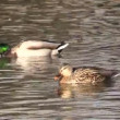 Stock Video: Pair of Mallards
