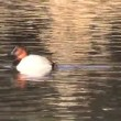 Stock Video: Canvasback Duck
