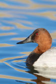 Canvasback Duck — Stock Photo