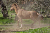 Salt River Wild Horse — Stockfoto