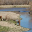 Stock Photo: Salt river Wild Horses