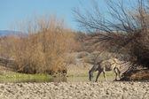 Salt river Wild Horses — Stock Photo