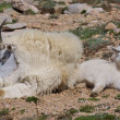 Stock Photo: Nanny and Kid Mountain Goats