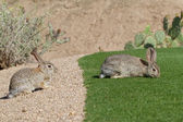 Desert Cottontail Rabbits — Stock Photo