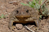Toad Head On — Stock Photo