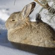Cottontail Rabbit in Snow — Stock Photo
