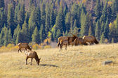 Bull and Cow Elk in Rut — Stock Photo