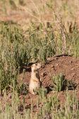 Prairie Dog at Burrow — Stock Photo