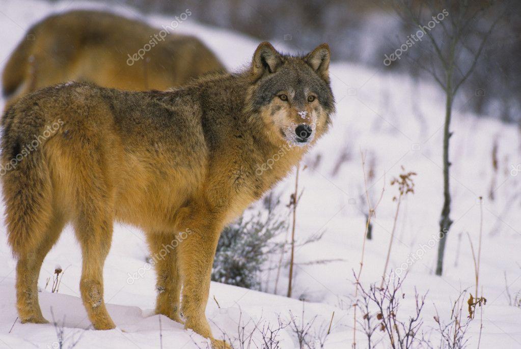 一只狼在雪中站立在冬季 — 照片作者 twildlife