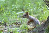 Small red squirrel — Stock Photo