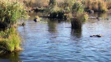 Rzeki z trzciny cukrowej i kamienie — Wideo stockowe