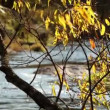 Kind on the river through a bright yellow tree — Stock Video