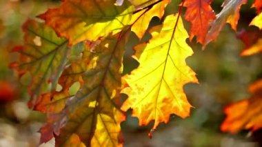 Foglio giallo di una quercia in autunno, situato verticalmente — Video Stock