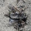 Ants drag a fly — Wideo stockowe