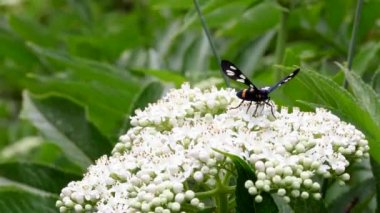 Butterfly creeps on a white flower. — Stock Video