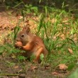The squirrel gnaws a nut in the summer  park — Stock Video