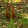 Red squirrel in park — Stock Video
