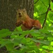 Red squirrel gnaws  nut on a tree branch — Stock Video