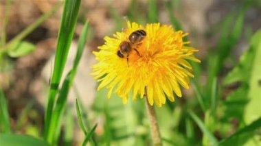 Macroshooting of bee on yellow flower — Stock Video