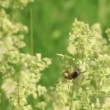 Stok video: Bee flies round grass