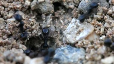 Creeping large ant, macroshooting — Stock Video