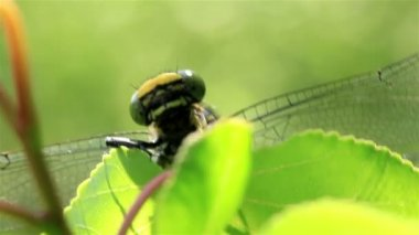 The head of a dragonfly with wings on a leaf. Macro — Stock Video