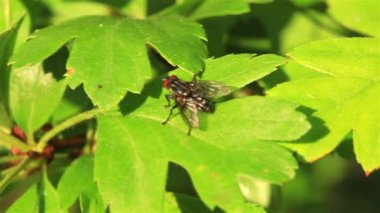 Fly on a green leaf. Macro — Stockvideo