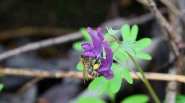 Trzmiel na fioletowy kwiat — Wideo stockowe