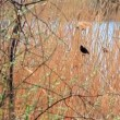 A bird in the reeds during the day against the backdrop of the River — Stock Video #34062165