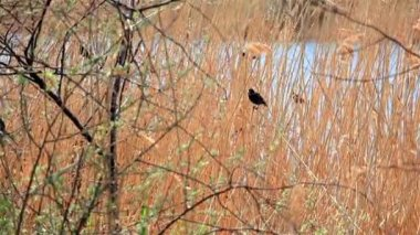 A bird in the reeds during the day against the backdrop of the River — Stock Video