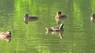 Group of ducks floats and cleans feathers — Stock Video