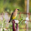 Cedar Waxwing — Stock Photo #13788877
