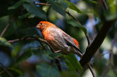 House Finch — Stock fotografie