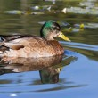 Mallard duck — Stock Photo #13799841