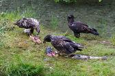 Aquila calva mangiare salmone — Foto Stock