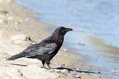 Northwestern crow — Stock Photo