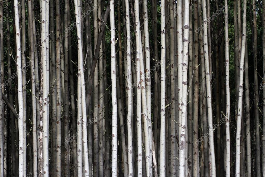 Aspen Tree Trunks for background  Stock Photo #13795559
