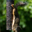 Squirrel and Bird Feeder - Stock Photo