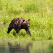 Grizzly bear — Stock Photo #14213889