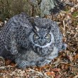 Great Horned Owl — Stock Photo #14214611