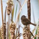 Song Sparrow — Stock Photo #14214769