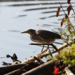 Green Heron - Stock Photo