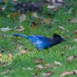 STELLER'S JAY - Stock Photo