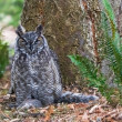 Great Horned Owl — Stock Photo #14215397