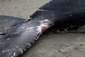 Humpback whale washes ashore and died — 图库照片